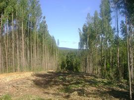 Explotación forestal en Gijón