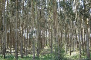 Plantacion de Eucalipto
